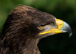 La Potenza del Volo - Aquila delle Steppe