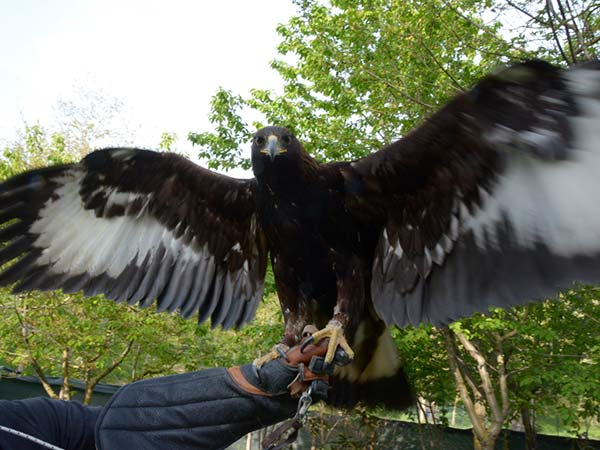 La Potenza del Volo - Aquila Reale