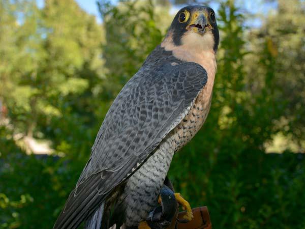 La Potenza del Volo - Falco Pellegrino